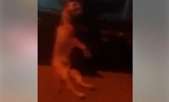 Arrastraba a su perro muerto en su camioneta en plena avenida