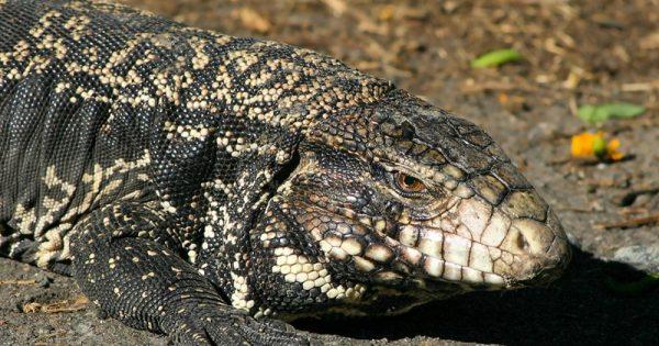 Insólito: lo mordió un lagarto overo